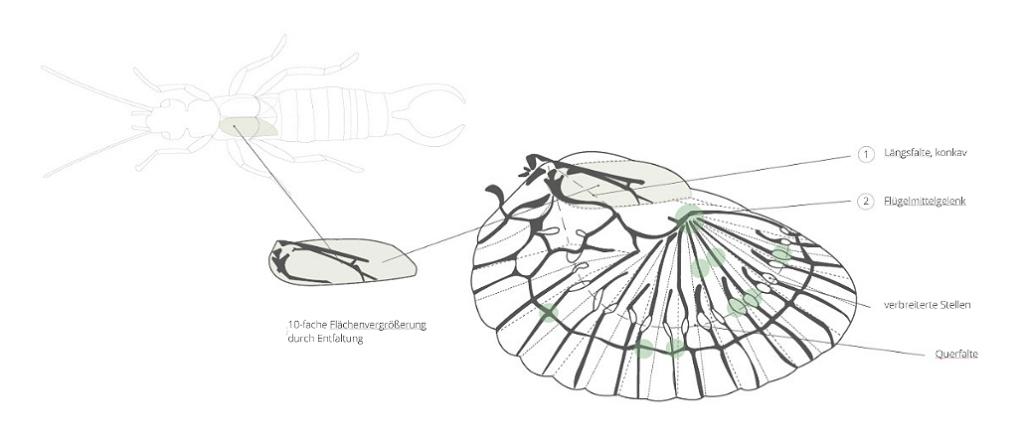Flügelfaltung Dermaptera Bionik Design Stefanie Reich