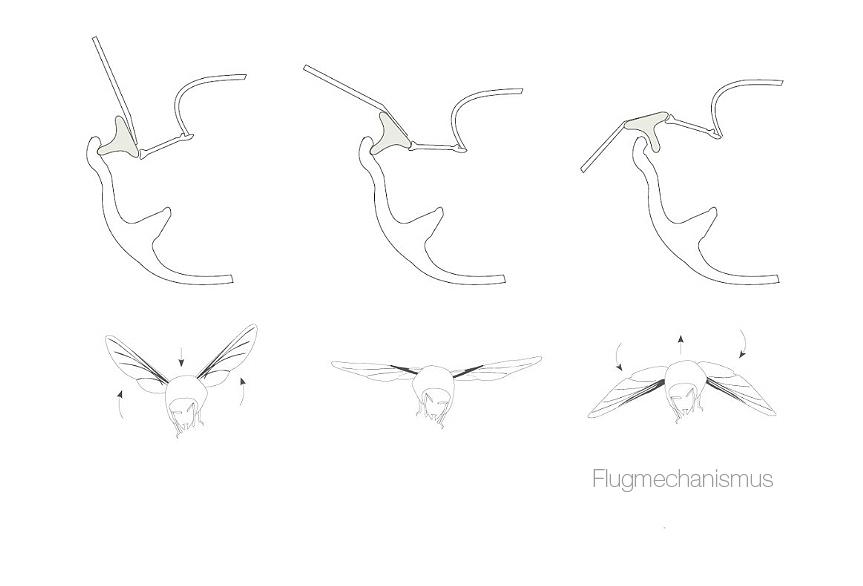 Flugmechanismus Dermaptera Stefanie Reich