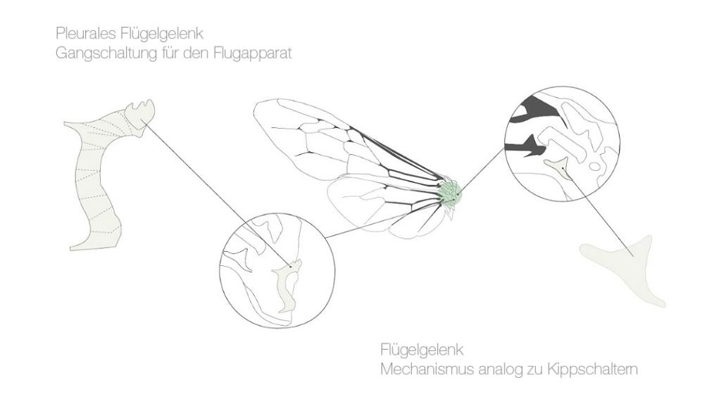 Flügelfaltung Dermaptera Flügelgelenk
